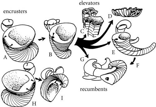 Figure 13.10   Rudist growth strategies: encrusters (A, B, H and I), elevators (C, D and E) and recumbents (F, G). (From Skelton, P.W. 1985. Spec. Pap. Palaeont. 33.)