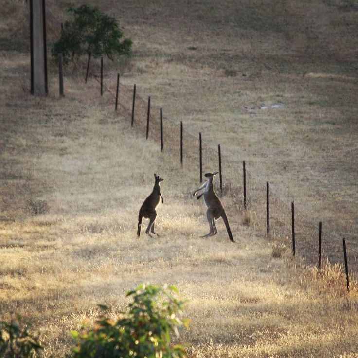 2 Male Kangaroos having a dust up at Mount Crawford forest. © Violet Ashes 2015