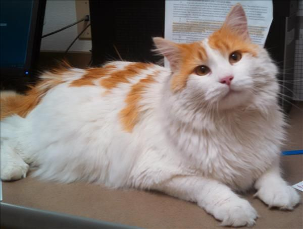 Maine Coon Cats Rescue Kentucky