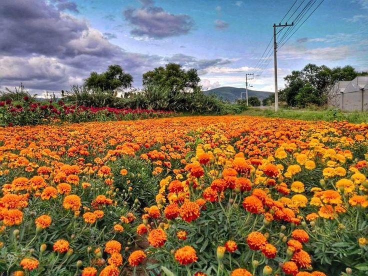 """La leyenda del cempasúchil -  La flor de cempasúchil es una especie autóctona de México y de América Central.  La flor de cempasúchil es la flor de una planta conocida como tagete, clavel chino o clavelón de la India. En México, se la llama flor de los muertos o cempaxóchitl. Su nombre científico es Tagetes erecta. La palabra """"cempasúchil"""", como tal, proviene del náhuatl y significa 'veinte flor' o 'flor de veinte pétalos'.    En México, la flor de cempasúchil se utiliza como decoración y…"""