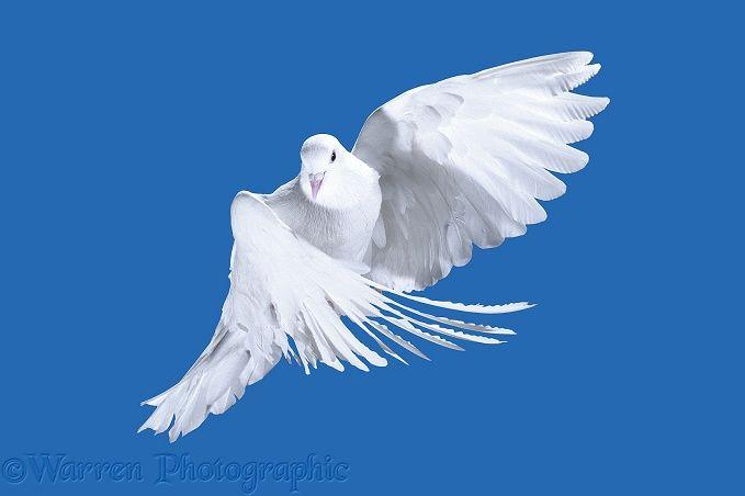 White Pigeon (Columba leucomela) in flight.