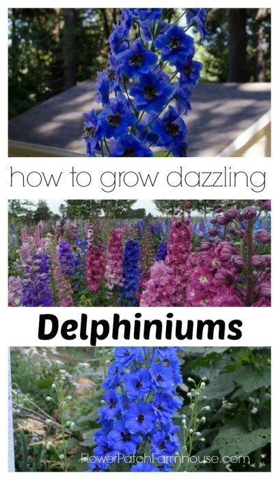 How to Grow Dazzling Delphiniums, FlowerPatchFarmhouse.com