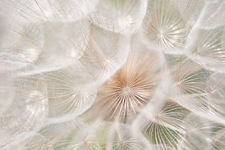 Macro Photo of Dandelion Fluff - Fine Art Photo Entitled Delicate Three  - 8 X 12. $40.00, via Etsy.