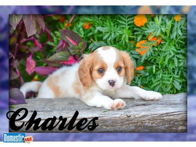 Charles Male Cavachon Puppy Hi My Name Is Charles And I Am A Charming Cavachon A Cross Between Two Small Breeds This Cava Cavachon Puppies Cavachon Puppies