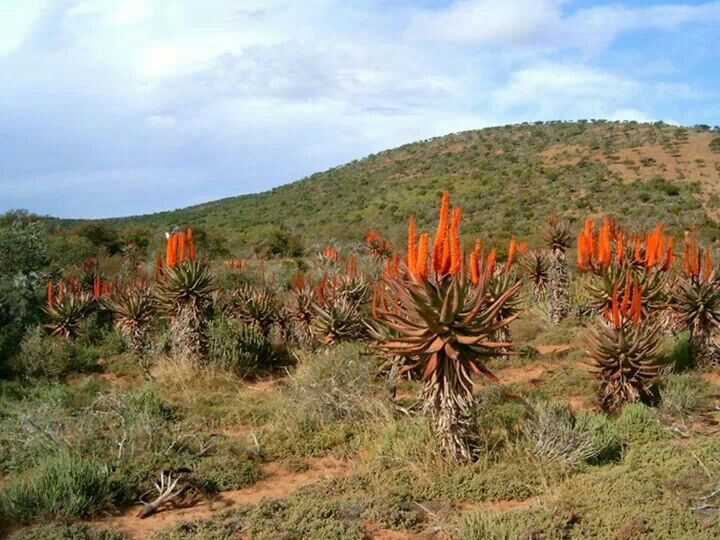 Aloes along the road on route to Port Elizabeth, South Africa