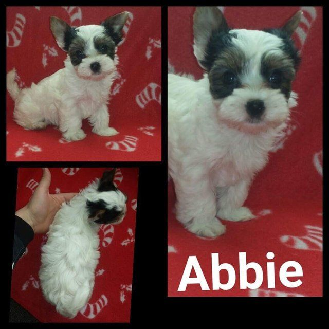Female Biewier Yorkshire Terrier puppy for sale. Ready now For Sale in Notingham, Nottinghamshire | Preloved