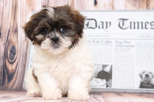 Shih Poo Puppy For Sale In Bel Air Md Adn 69484 On Puppyfinder Com Gender Female Age 8 Weeks Old Shih Poo Puppies Puppies For Sale Shih Poo