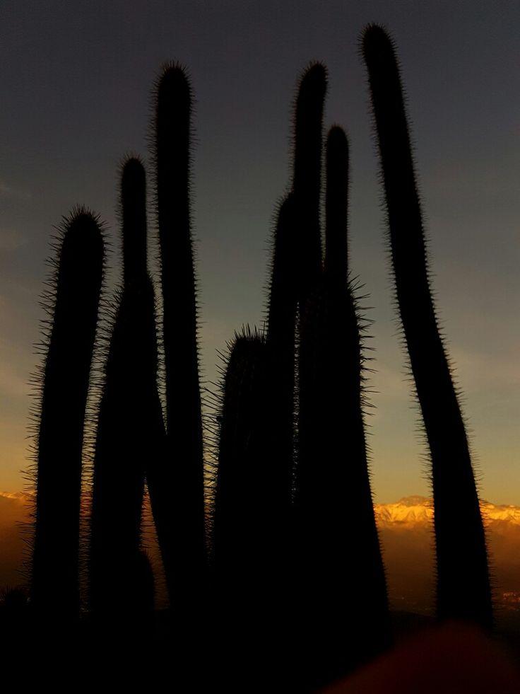 Cactus al atardecer en #cerromanquehue