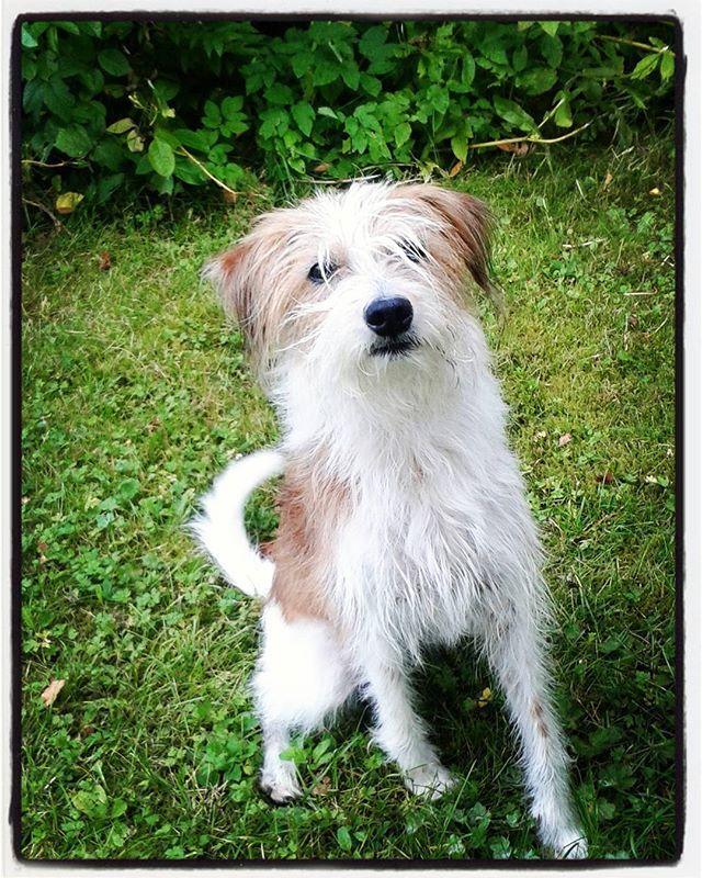 #Pumba #koira #dog #kromfohrländer #lemmikki #valkoinen #ruskea #kromi #kromfohrlander   #syyskuu