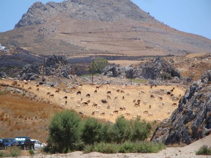 Pasture - Skinaria (Σκινάρια, Ρέθυμνο), South Crete
