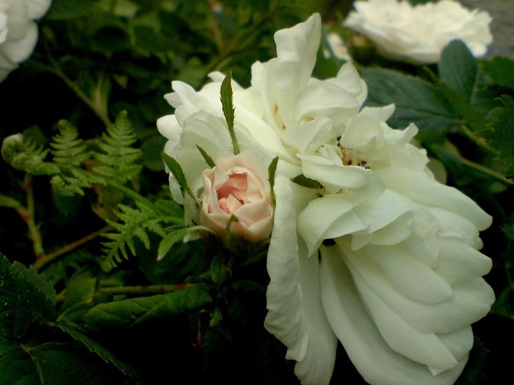 en av mine roser