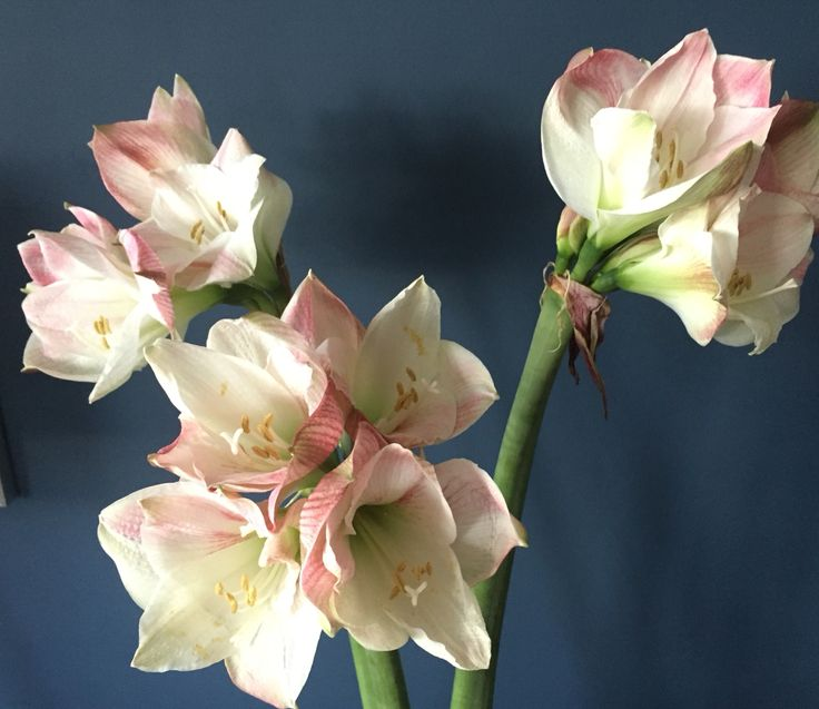 Apple Blossom Amaryllis; my favoritt Christmas flower⭐️✨