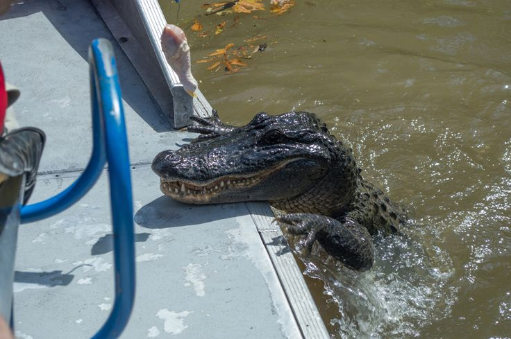 Swamp tour in Hahnville, near New Orleans, for a little croc spotting