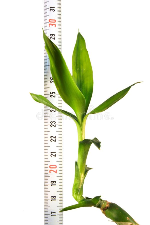 Plant with a ruler. On a white background , #sponsored, #ruler, #Plant,  #background, #white #ad | Stock photography free, Plants, Ruler