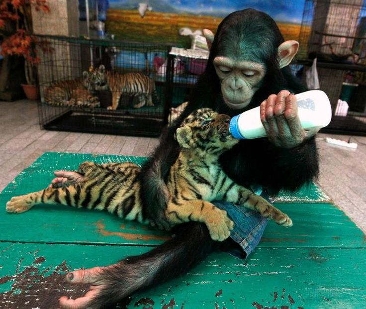 Baby chimp feeding baby tiger = most adorable creatures ever. Yep we'll be needing both of these!