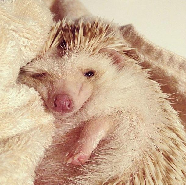 sleepy hedgie!