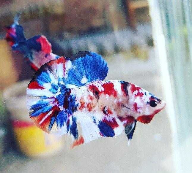 Multicolor koi galaxy #hmpk | Ikan cupang, Hewan, Ikan