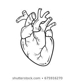 Anatomical heart line art illustration. Vector simple ...