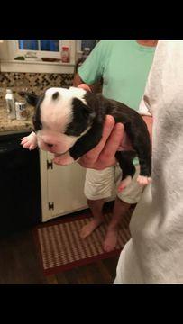 Litter of 6 Boston Terrier puppies for sale in NORTH CHARLESTON, SC. ADN-35938 on PuppyFinder.com Gender: Female. Age: 1 Week Old