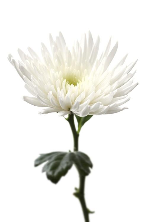 ~White Chrysanthamum    Symbolizes:  Truth and loyal love