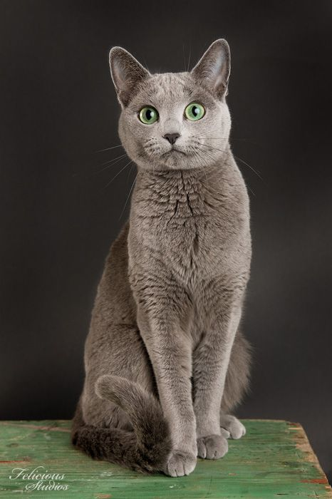 Russian Blue - As its name indicates, this blue-coated cat seems to be of Russian origin; it is said to have arrived in England during the mid-19th century aboard a Russian merchant ship. The most distinctive feature of the Russian Blue is its fur, which seems to be frosted with powdered sugar.