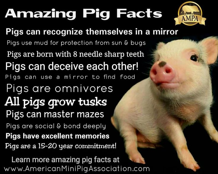 Learn the Facts about mini pigs at AMPA.