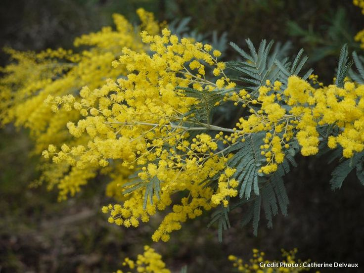 28 best mimosa images on pinterest yellow flowers mimosas and shrub conserver le mimosa mightylinksfo