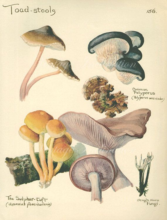 Vintage Botanical Print Antique TOADSTOOLS by VintageInclination, $14.00