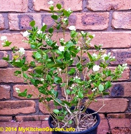 Arabian Jasmine, native to India.  National flower of Indonesia & Philippines. Only blooms at night, also known as Blooming Jasmine.  Fragrant flowers last for only one day once they have opened their petals.  The jasmine blooms for 6-9 months of the year.
