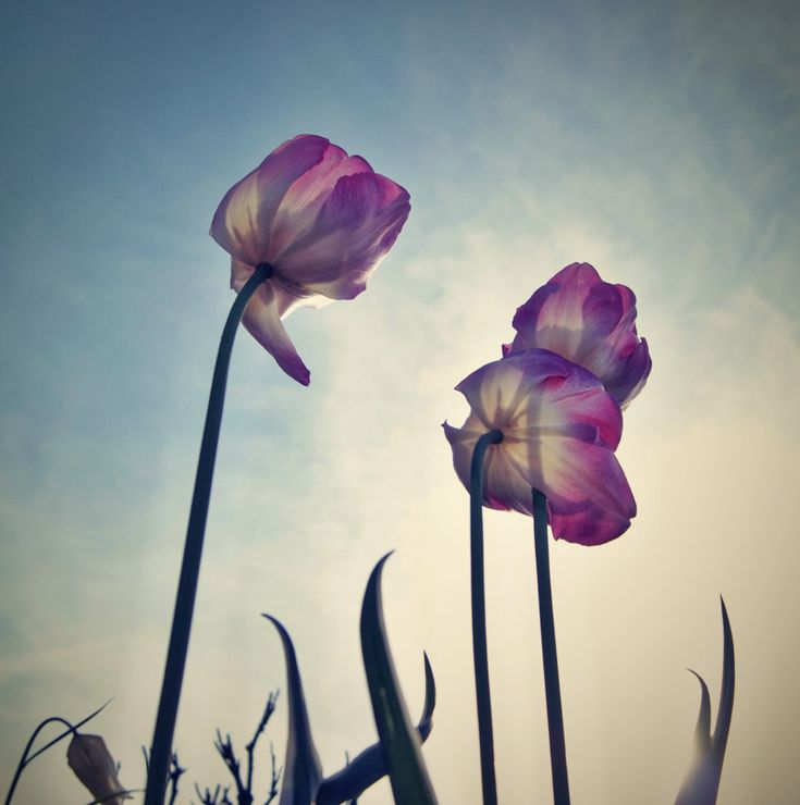 Cool tulips Nature Photographer Sven Siehl http strkng net