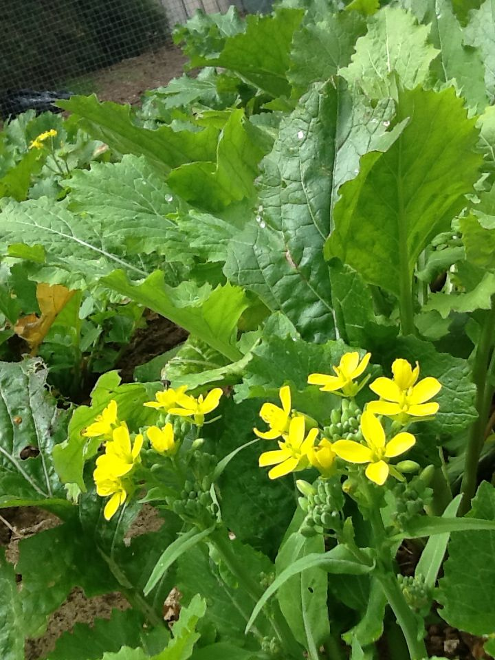 yellow flowers in the vegie garden #yellowflowerinavegiegarden