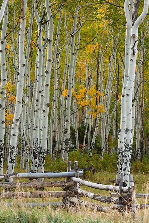 An old fence and aspen along Last Dollar Road near Telluride, Colorado | Rocky Mountain Reflections Photography