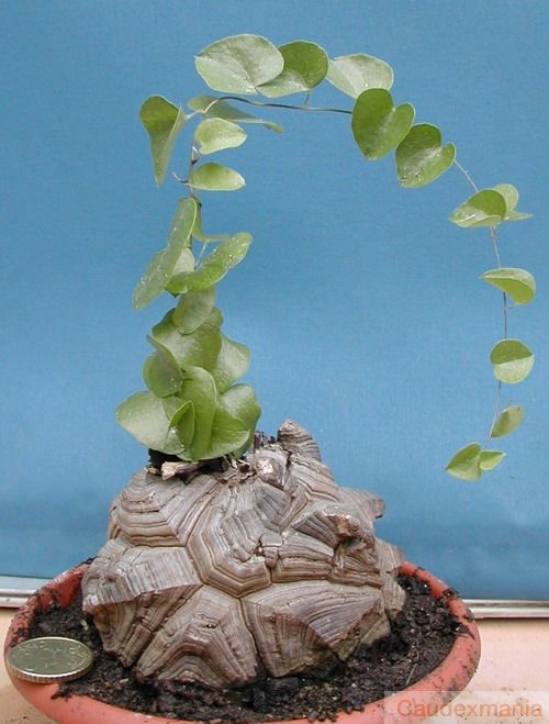 Dioscorea Elephantipes - in love with this!