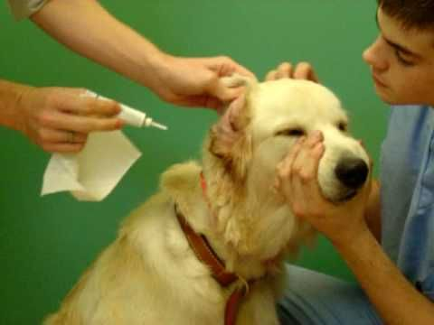 How Do Vets Clean Dogs Ears