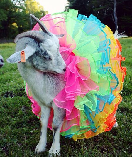 Nothing better than a goat in a tutu | Sheep/Goats | Pinterest