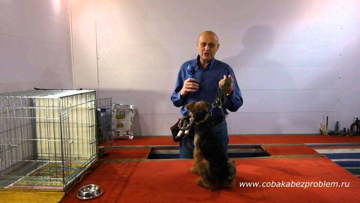 welsh terrier Asya. Dog training вельштерьер Ася. Дрессировка. Коррекция чистоплотности