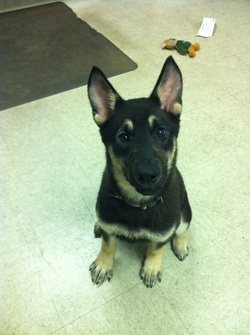 Jezebel - This 5 month old lovely lady is predominantly shepherd, with a little husky mixed in for variety. She is a playful mutt that gets on well with people, including children, and other dogs.   If you would like to find out more about Jezebel please check out www.heartdogrescue.com