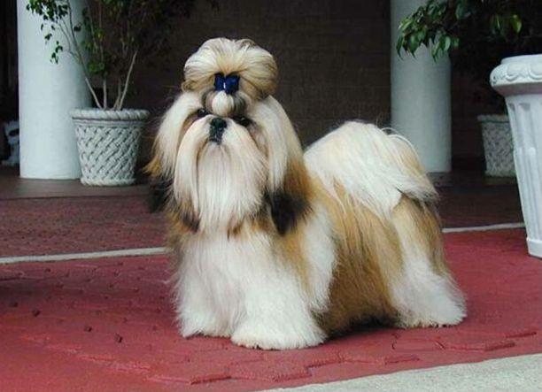 Amo Meu Pet: Shih Tzu sobre a raça, enxoval, cuidados e muito m...