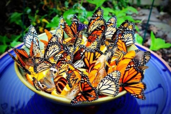 Place some orange slices in a shallow bowl with some water to attract all types of Butterflies to your garden, Monarchs in particular love them.  if you are concerned about ants,,, place the oranges and a few rocks in a shallow bird bath and place mint oil all along the base... Ants do not like mint. I do this to my hummingbird feeder that is on a shepherd's hook. The ants stay away from the feeder. - A Not So Secret Garden