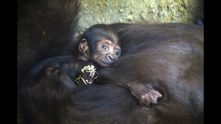 EN VÍDEO: Tercer bebé gorila nacido en BIOPARC Valencia   www.bioparcvalencia.es