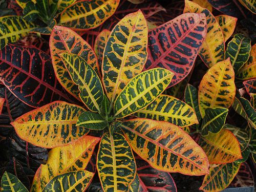 Small House Plants Home Depot: Croton (Purchased From Home Depot Or Lowes)