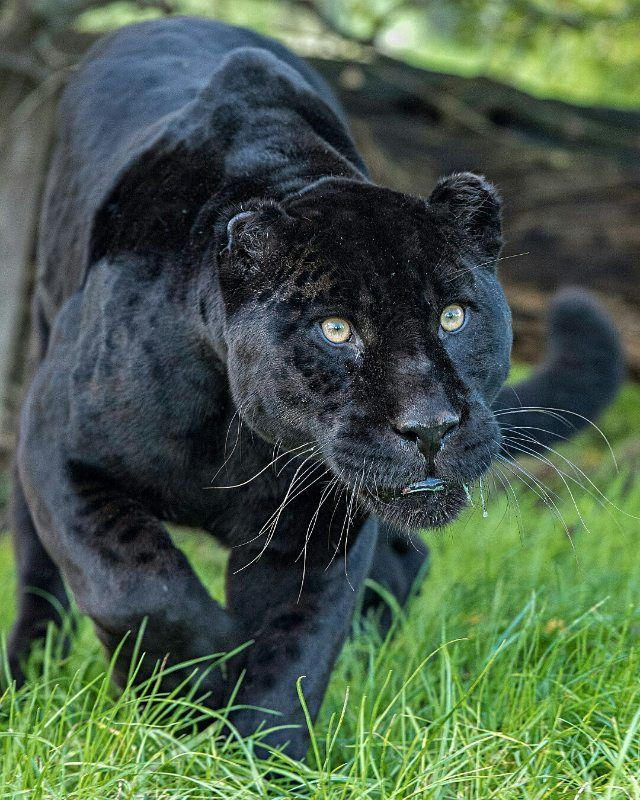 "11.2k Likes, 31 Comments - Wild Geography (@wildgeography) on Instagram: ""Black jaguar  Photography by Colin Langford #Wildgeography"""