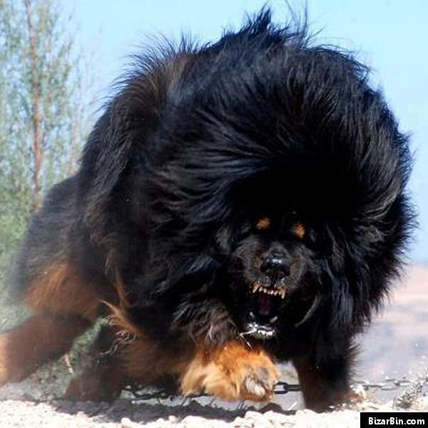 Tibetan Mastiff. I've Wanted One For A Long Time, And I