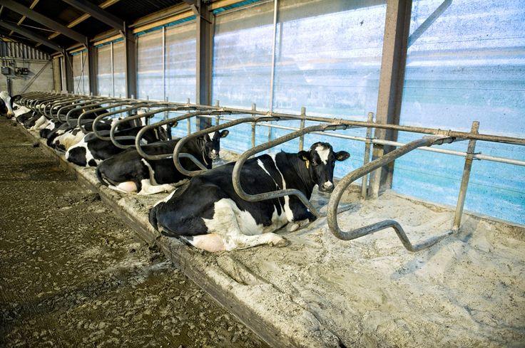 Veeteelt is het produceren van melkproductie of vleesproductie. Melkproductie is het melken van een vrouwelijk zoogdier. En vleesproductie is het slachten van een dier.