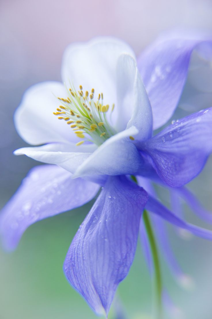 Side View Of Blue Columbine Flower Bloom And Bud On Mountain ...