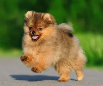 Pomeranian Small Puppy Breeds Best Collection About Small Puppy Breeds Dogs