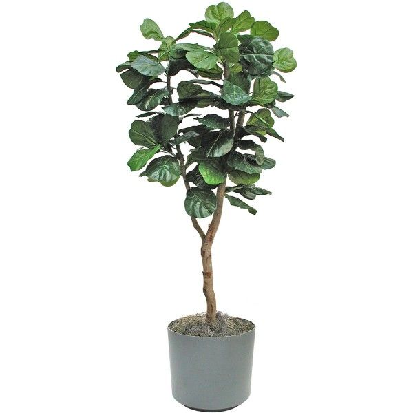 17 best ideas about indoor fig trees on pinterest indoor trees indoor tree plants and best. Black Bedroom Furniture Sets. Home Design Ideas