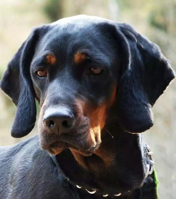 ThePolish Hunting Dog, or formerlyPolish Scenthound(Polish:Gończy Polski) is abreedofscent houndoriginating inPoland.