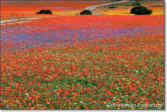 Namaqualand Daisies, West Coast, Western Cape, South Africa