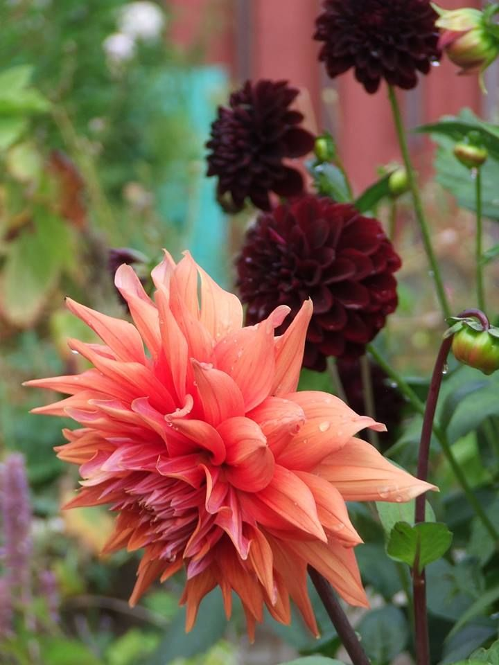 Dahlia, dahlias, La Recoleta, Color Spectacle, orange dahlia, black dahlia, pom dahlia